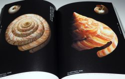 Photo1: The Beautiful Shell in the world book bivalve shellfish univalve